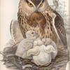 Bubo maximus. Eagle Owl.