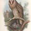 Otus vulgris. Long-eared Owl.