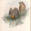 Scops zorca. Scops Eared Owl.