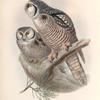 Surnia funerea. Hawk Owl.