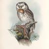 Nyctale tengmalmi. Tengmalm's Owl.