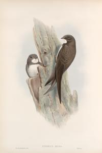 Cypselus melba. Alpine Swift.