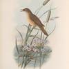 Acrocephalus turdoïdes. Thrush-Warbler.