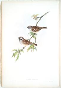 Passer montanus. Tree-Sparrow.