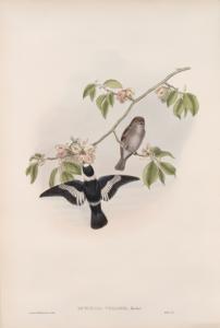 Muscicapa collaris. White-collared Flycatcher.