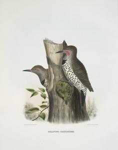 Colaptes chrysoides, Malherbe's Golden-winged Woodpecker.