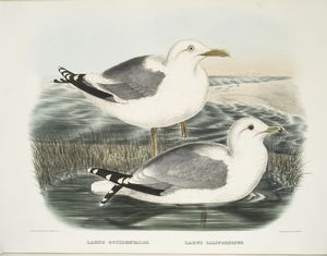 Larus occidentalis, Western Gull; Larus californicus, The California Gull.