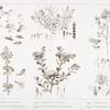 Flore d'Arabie Pétrée : fig. 1. Leobordea lotoidea; fig. 2. Molucella microphylla; fig. 3. Mathiola linearis; fig. 4. Buphthalmum arabicum; fig. 5. Trigonella arabica; fig. 6. Hypecoum dimidiatum.