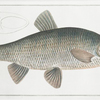 Cyprinus Jeses, The Chub.