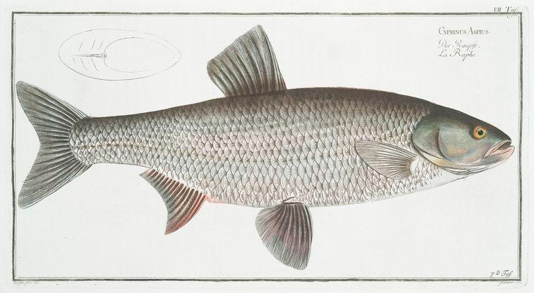 Cyprinus Aspius, The Aspius.