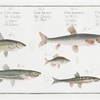 1. Cyprinus bipunctatus, The Sperlin; 2. Cyprinus Gobio, The Gudgeon; 3. Cyprinus Amarus, The Bitter-Carp; 4. Cyprinus Alburnus, The Bleak; 5. Cyprinus Phoxinus, The Minow.