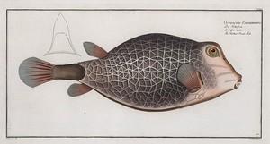 Ostracion Concatenatus, The Knitted -Trunk-Fish.