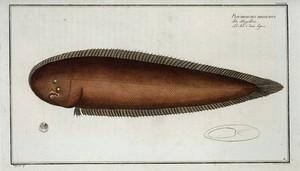 Pleuronectes bilineatus.
