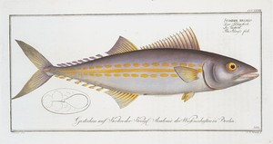 Scomber regalis, The King's fish.