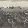 Cultivating between cane rows.