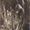 Seven trees from one nut, Rarotonga.