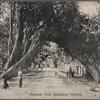 Banyan tree, Kalutara, Ceylon.