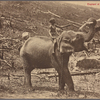 Elephant at work on New Estate, Ceylon.