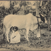 Milch cow and baby, Ceylon.