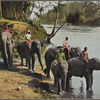 Elephants crossing river, Ceylon.