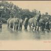 Ceylon.  Ceylon elephants.