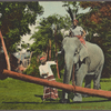 Ceylon elephant at work.