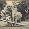 Elephant at work, Ceylon.