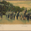Ceylon elephants.