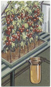 Tomato plants. Digital ID: 407707. New York Public Library
