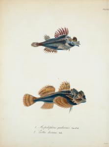 1. Aspidophorus quadricornis; 2. Cottus diceraus.