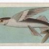 Flying-Fish.