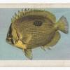 Butterfly-Fish.