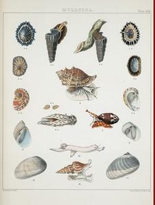 1. Siphonaria Coreensis; 2. Siphonaria radiata; 3. Cerithium obtusum; 4. Ranella albivaricosa; 5. Haliotis venusta; 6. Ancillaria obtusa; 7. Columbella semipunctata; 8. Sigaretus acuminatus; 9. Natica macrotremis; 10.Sigaretus insculptus; 11. Sigaretus latifasciatus;12. Carinaria Atlantica; 13. Pleurotoma Griffithii.