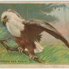 African Sea-Eagle.