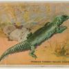 Arabian Thorny-Tailed Lizard.