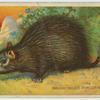 Brush Tailed Porcupine.
