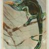 Fischer's Chameleon.