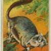 Fraser's Flying Squirrel.