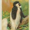 Guereza Monkey.