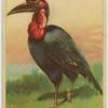 Horned Guinea Raven.