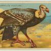 Ruppell's Vulture.