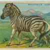 Bruchell's Zebra.