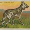 Cape Hunting Dog.