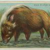 Red River Hog.