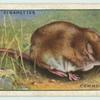 Common Shrew.
