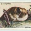 Natterer's Bat.