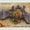 Common Bat or Pipistrelle.