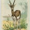 The Antelope.