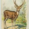 The Axis Deer.