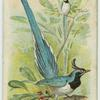 The Blue Magpie.